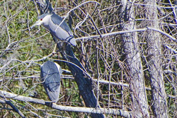 Black Crowned Night Herons at Harris Neck NWR