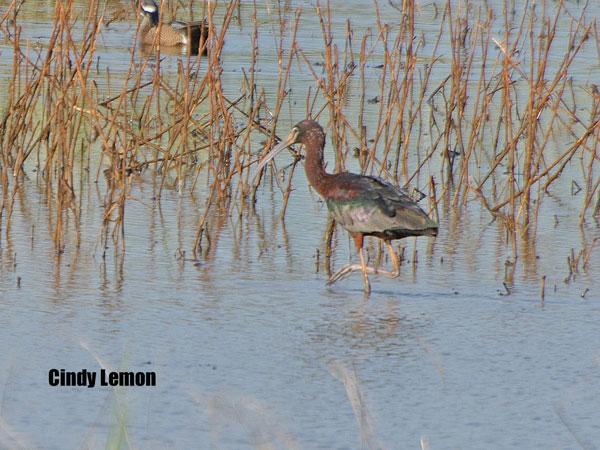 Glossy Ibis at Altamaha