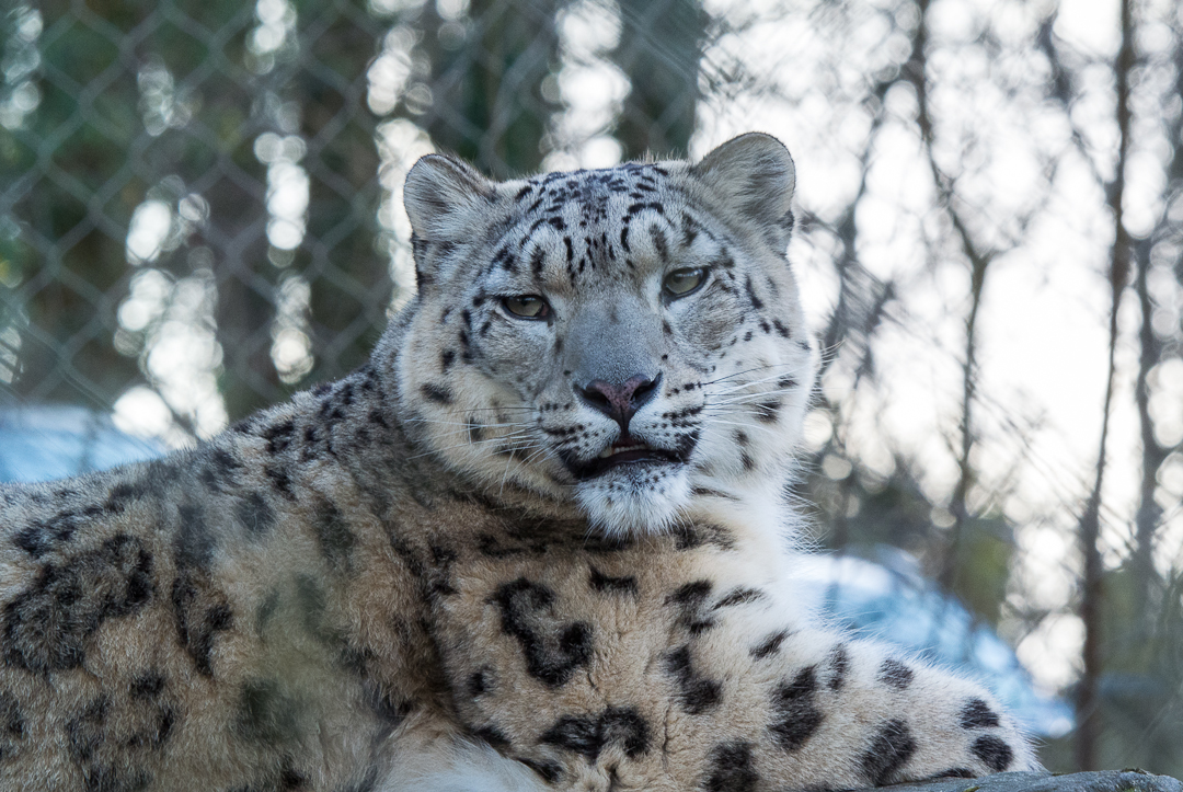 Marwell Wildlife - Snow Leopard