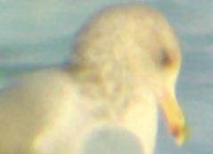 California Gull - 2-21-2010 Tunica Co. MS