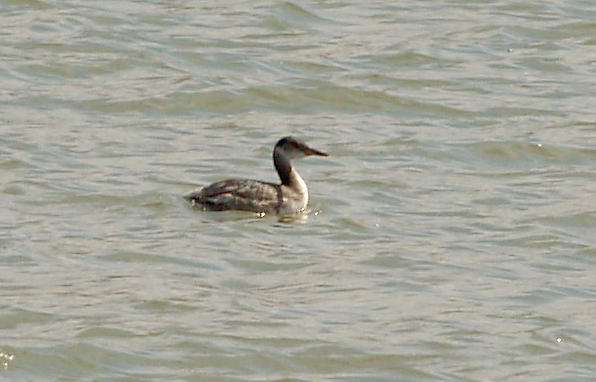 Red-necked Grebe - 2-20-11 Robco Lake