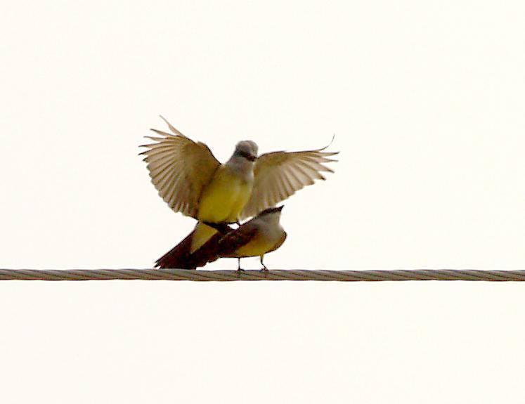 Western Kingbird - 5-27-2012 - Right Habitat - Right Time.