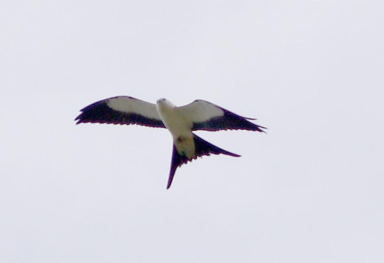 Swallow-tailed Kite - 8-4-2012 -