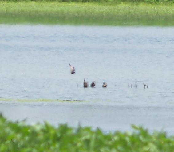 Black Tern - 7-15-2012  Walls MS adult.