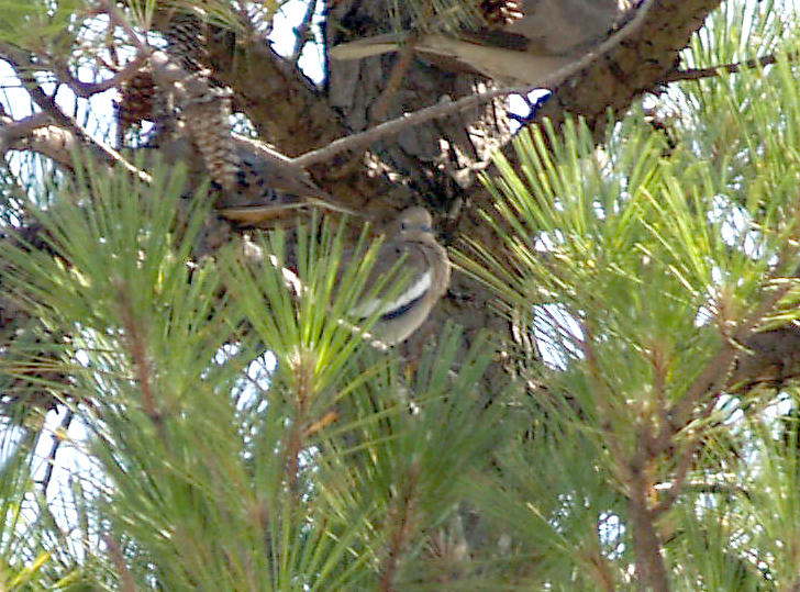 White-winged Dove - 6-23-2012 - Presidents Island -
