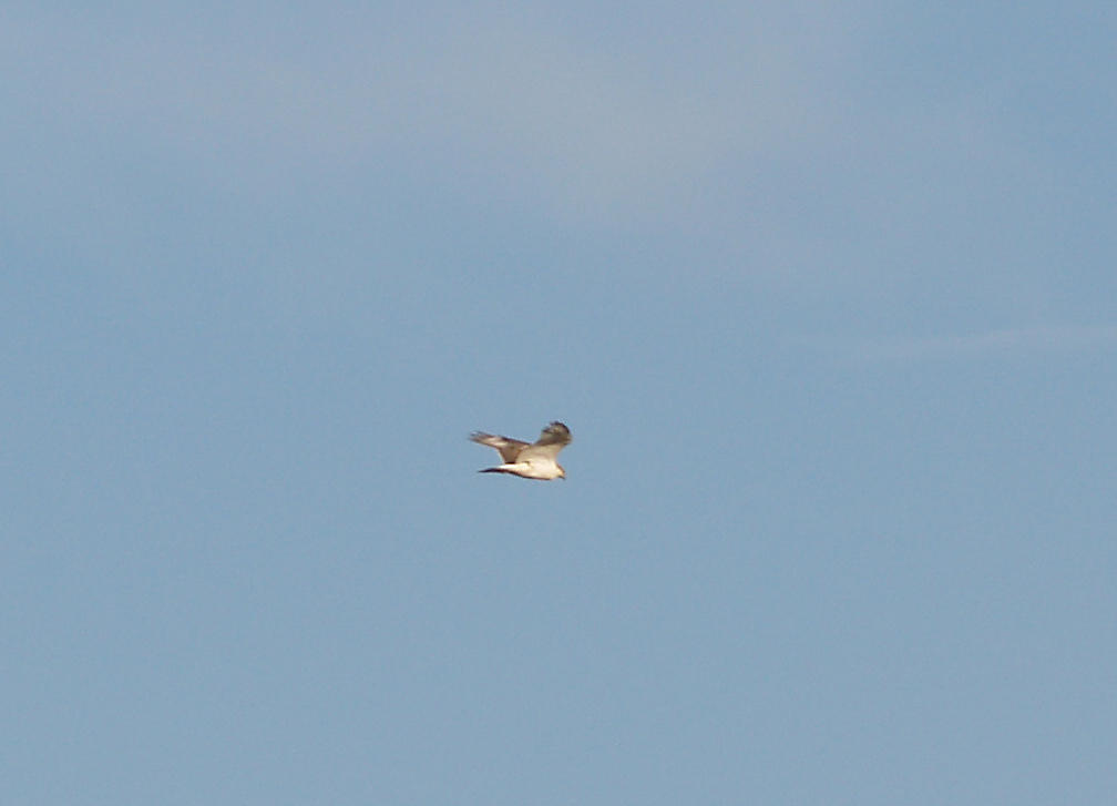 Ferruginous Hawk - 11-10-2012 - immature - kiting - Bogota WMA.