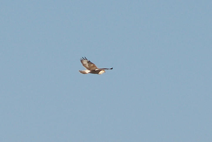 Ferruginous Hawk - 11-10-2012 - immature - upper primary coverts - tail -Bogota WMA.