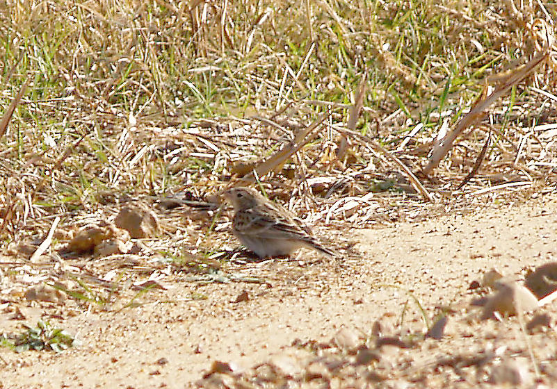Chestnut-collared Longspur - 11-14-2012 - female - Ensley Bottoms -