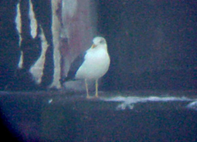 Lesser Black-backed Gull - adult 3-9-08 Pickwick Dam
