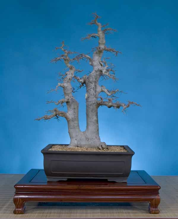Celtis chinensis, 31 inches