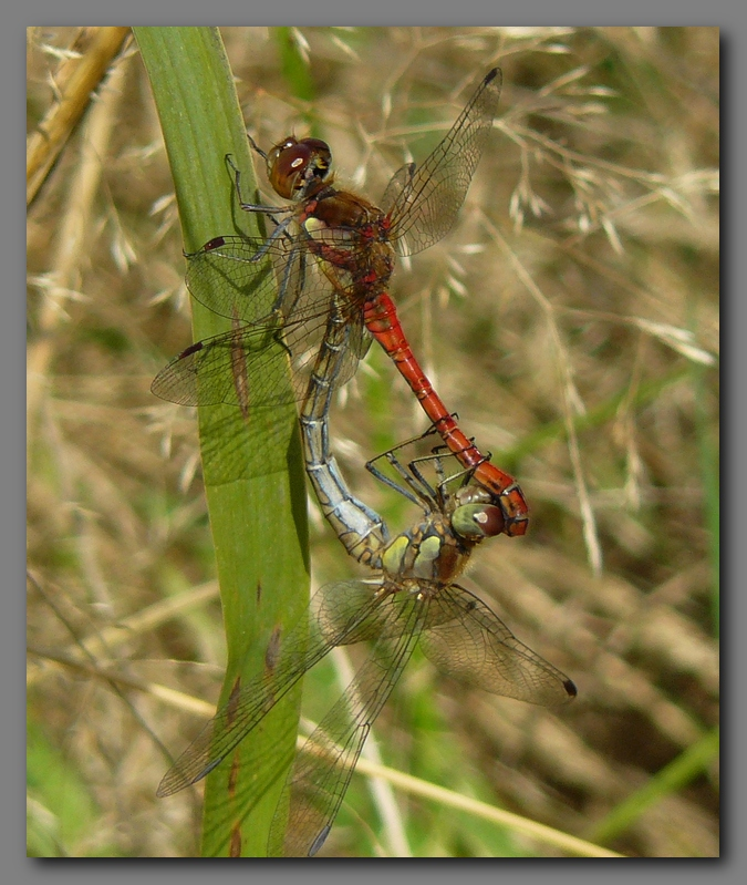 Common darters in cop.
