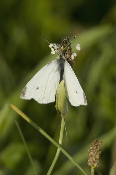 Klein koolwitje (Pieris rapae)