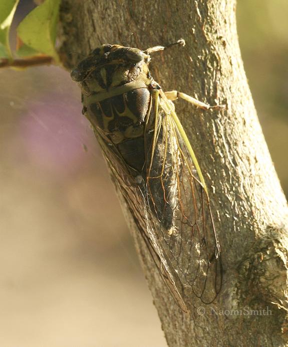 Dog Day Cicada S8 #6820