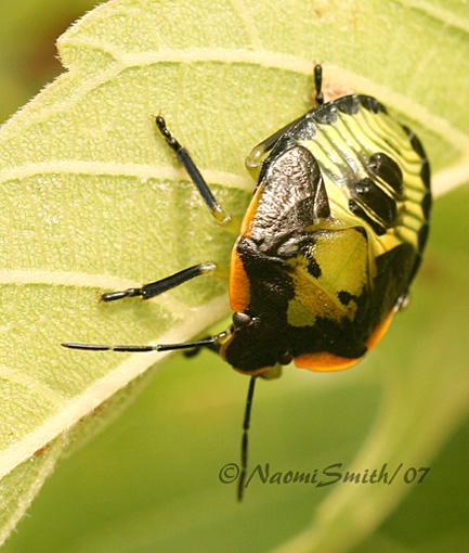 Green Stinkbug nymph AU7 #2801