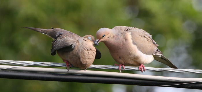Mourning Doves in Love