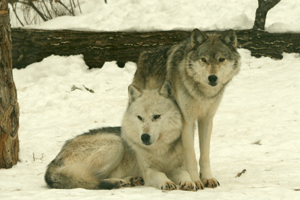 Haliburton Forest Wolves