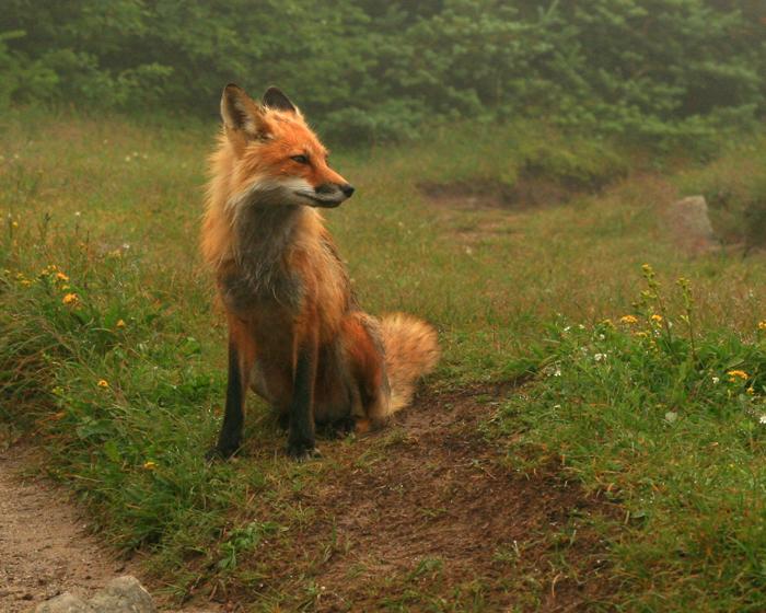 Fox on Mt. Adams