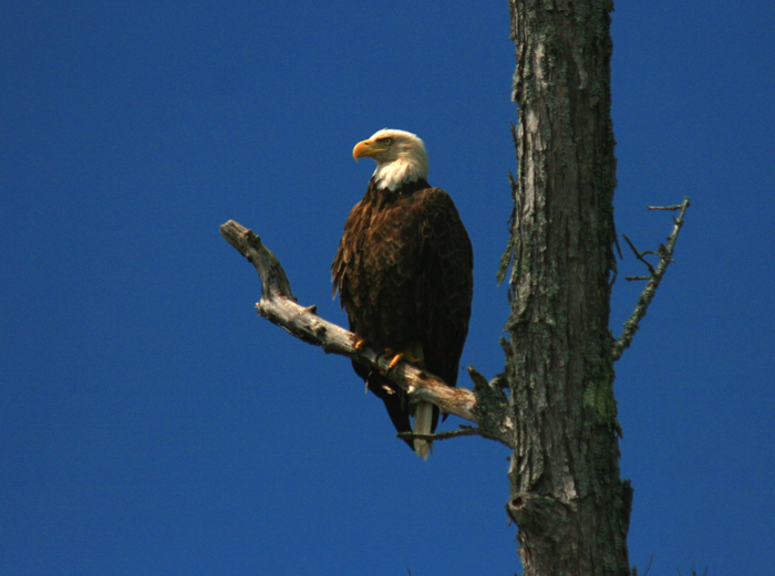 Bald Eagle at Lake Umbagog
