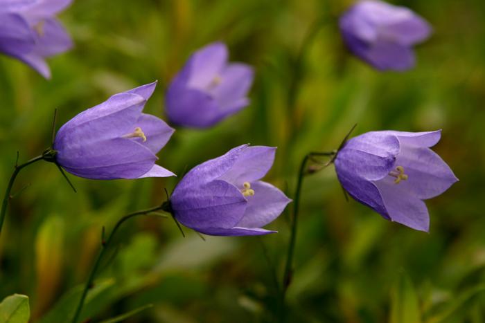 Blue Bells in the Alpine Garden