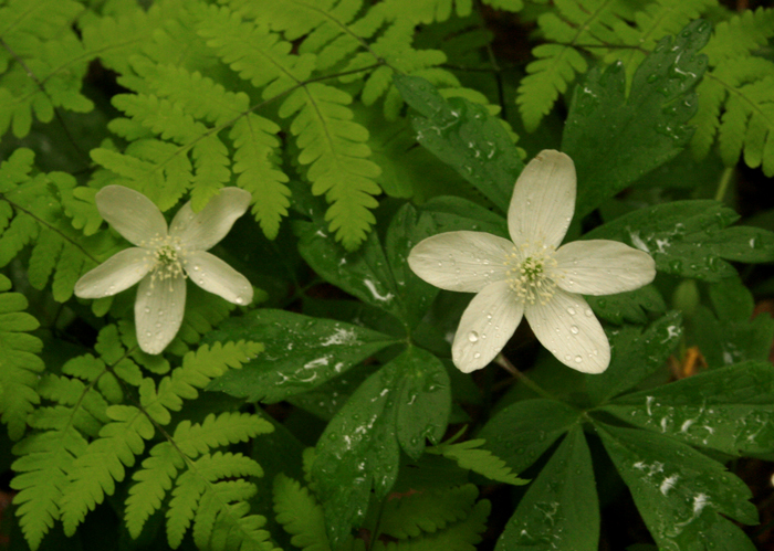 Wood Anemones and Ferns