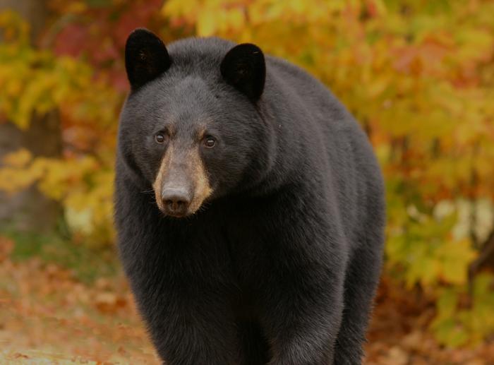 Black Bear in Autumn (a)