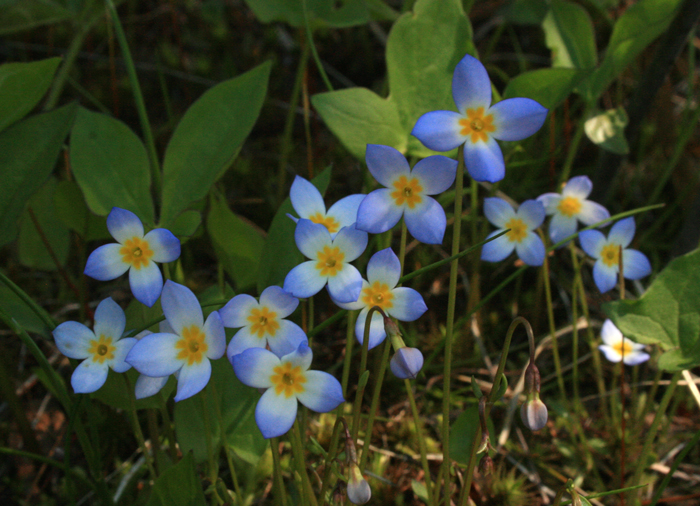 Alpine Bluets in Tuckerman Ravine