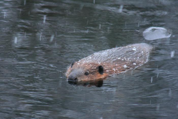 Beaver in Spring Snow Shower
