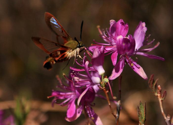 Hummingbird Moth on Rhodora (a)