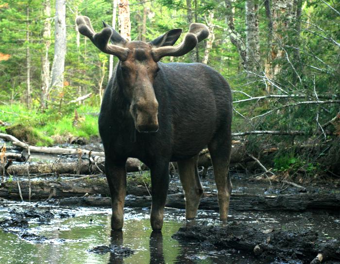 Bull Moose in a Bog