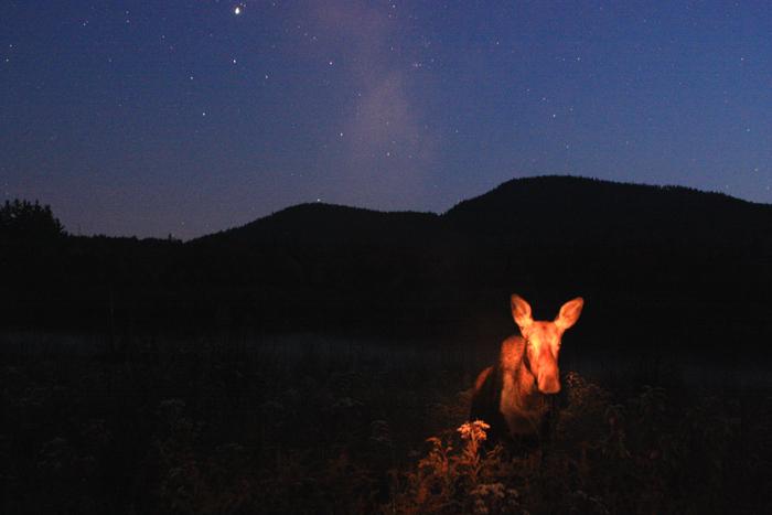 Moose in a Starlit Meadow