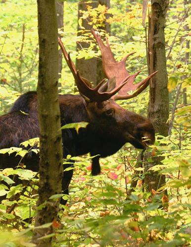 Bull Moose in Pinkham Notch in Autumn