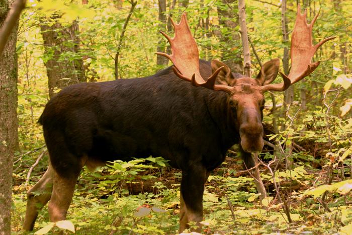 Bull Moose in Pinkham Notch in Autumn ; Profile