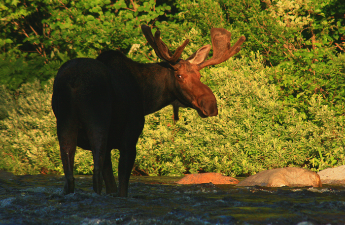 Bull Moose Crossing the Pemigewasset River