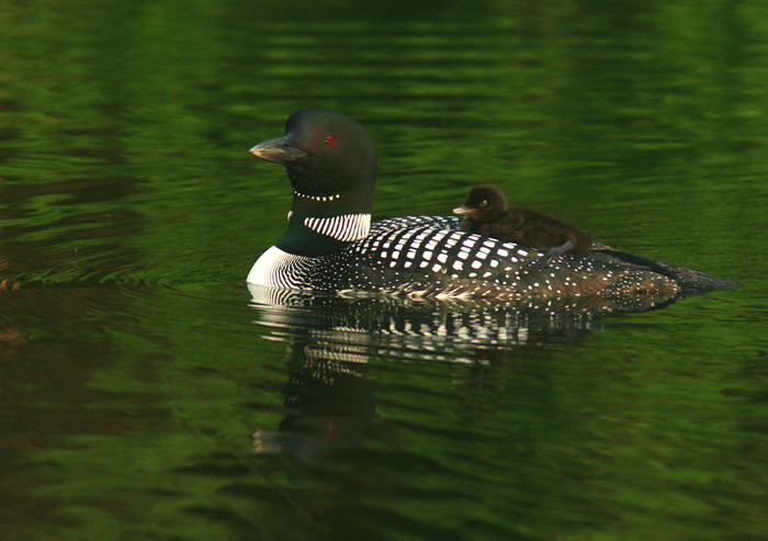 loon and chick at sunrise