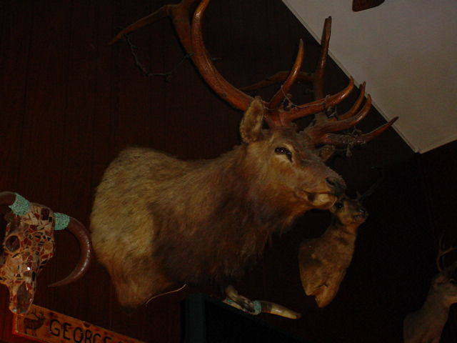 Buck head & antlers