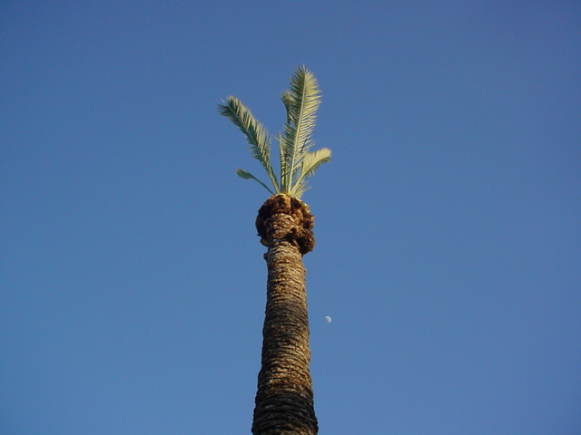 cutting the palm trees<br>moon in the back ground