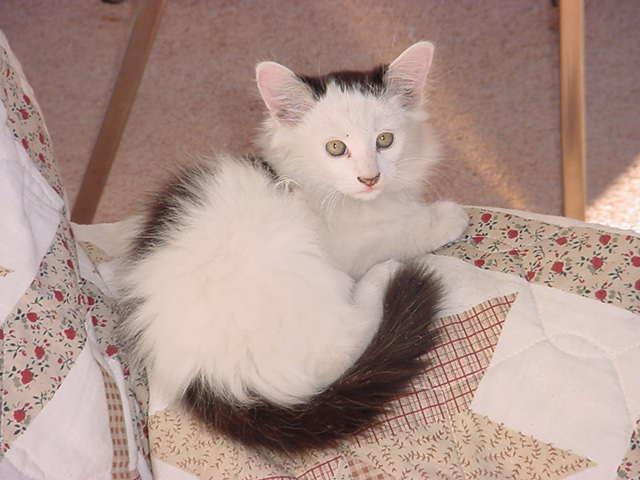 white long hair kitten