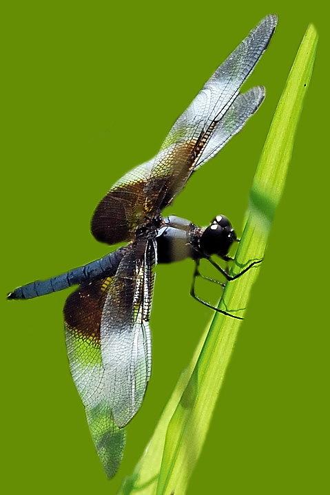Dragonfly_14130
