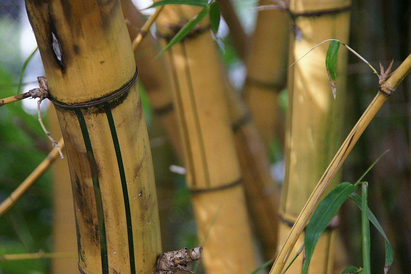 Bamboo foreground