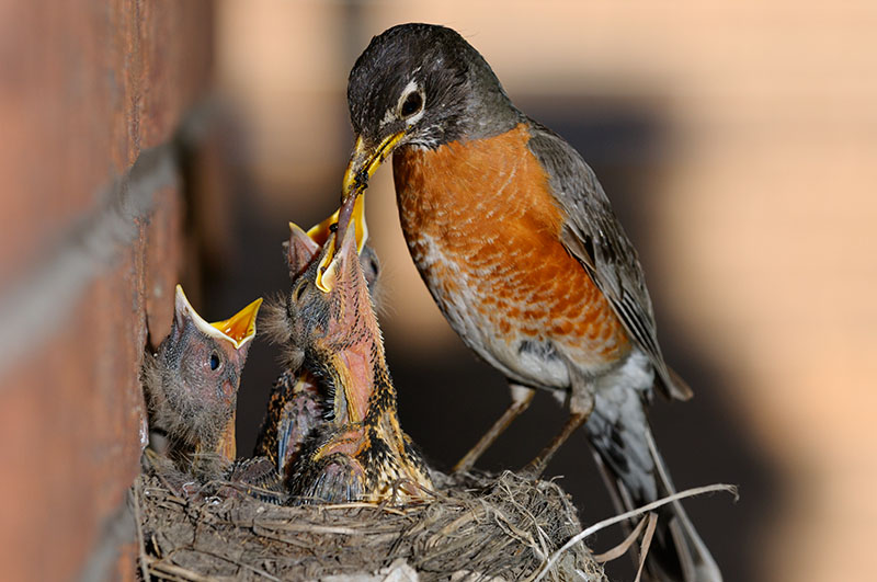 166 Robin chicks feeding 5.jpg