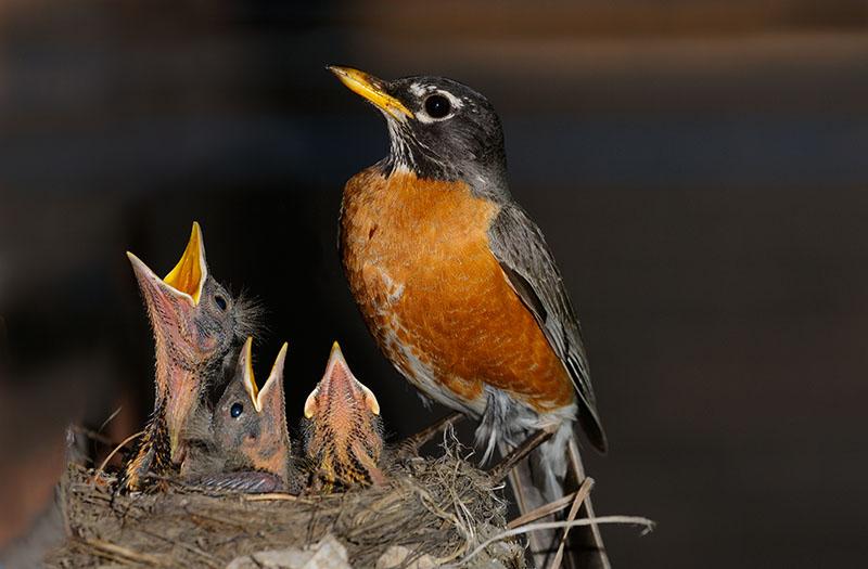 166 Robin chicks feeding 6.jpg