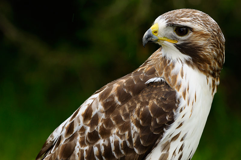 170 Red Tailed Hawk 4.jpg