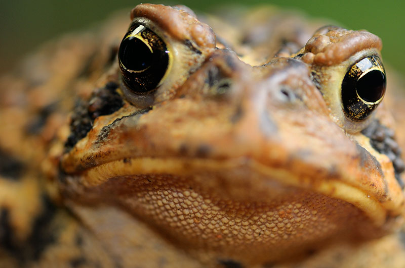 175 American Toad close up 4.jpg
