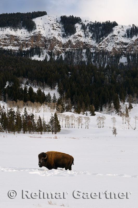 191 Soda Butte Bison 2.jpg