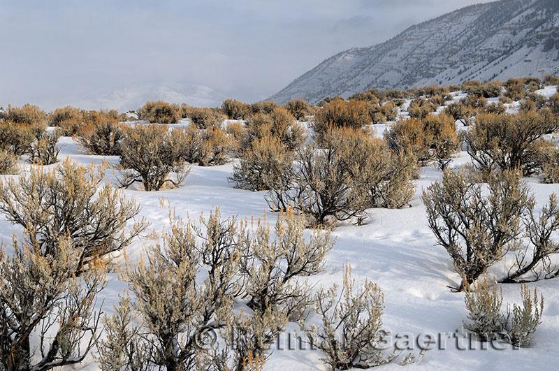 191 Yellowstone Sagebrush.jpg
