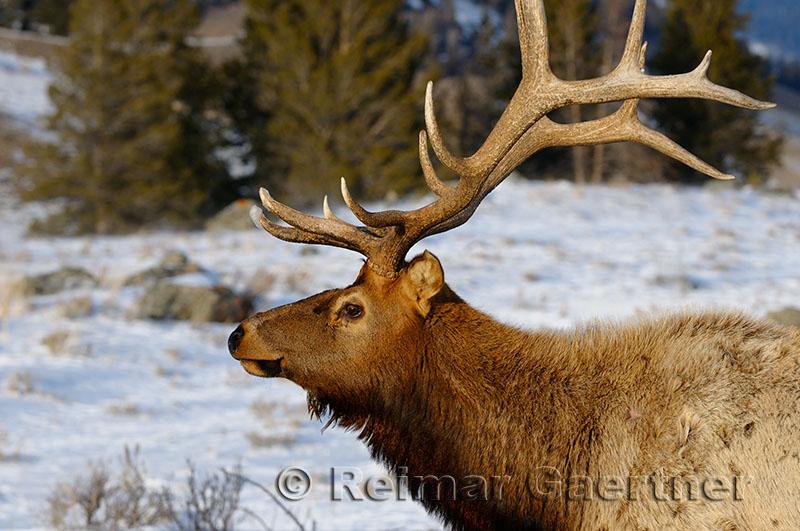 193 Bull Elk 2.jpg