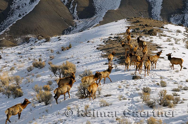 193 Elk Herd.jpg