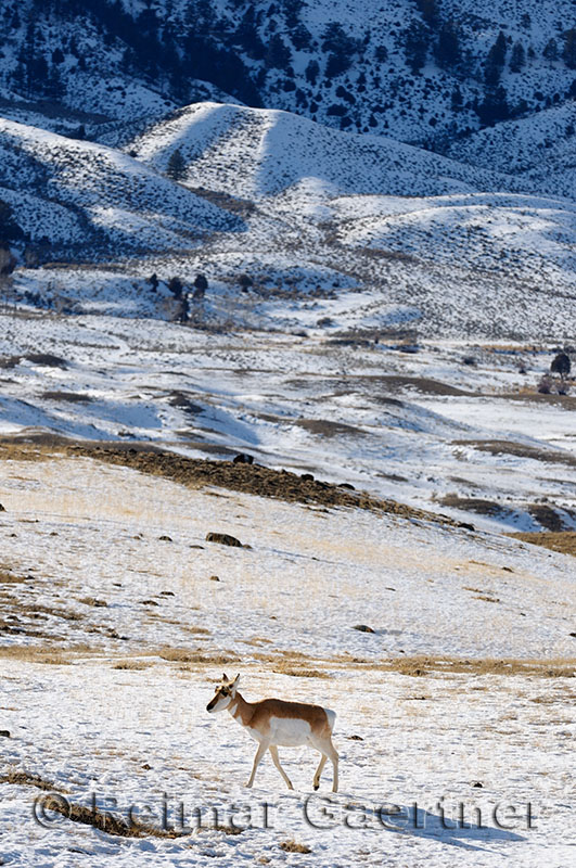 193 Pronghorn Antelope 2.jpg
