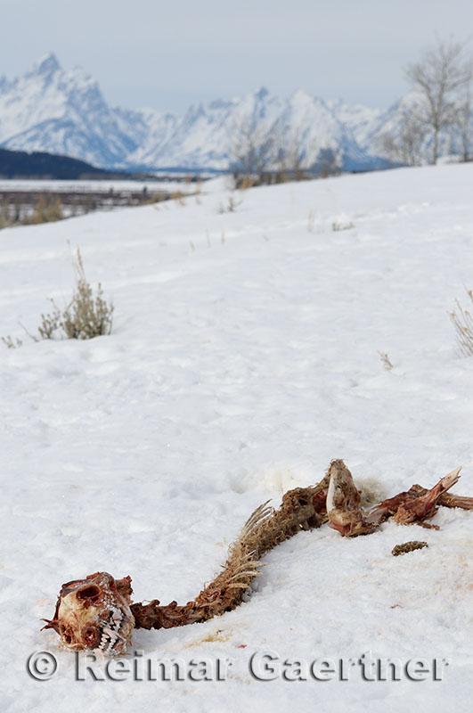 195 Coyote Skeleton and Tetons.jpg