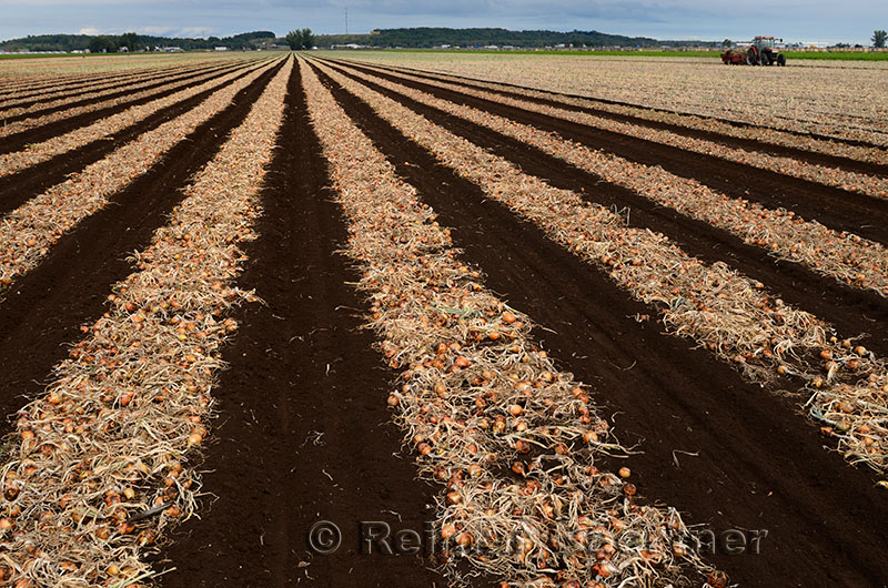 278 Onion harvest 4.jpg
